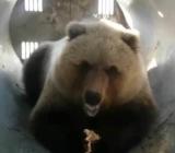 медведь-попрошайка