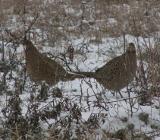 Разводят фазанов