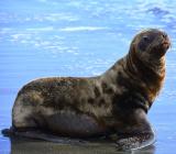 юный морской лев