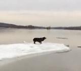на льдине собака
