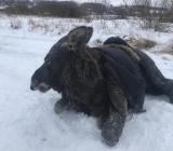 спасенная лосиха