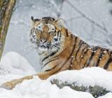 Голодный тигр