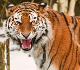 молодая тигрица