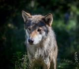 Добыть волчицу