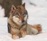 Премия за волка