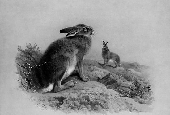 матерый заяц