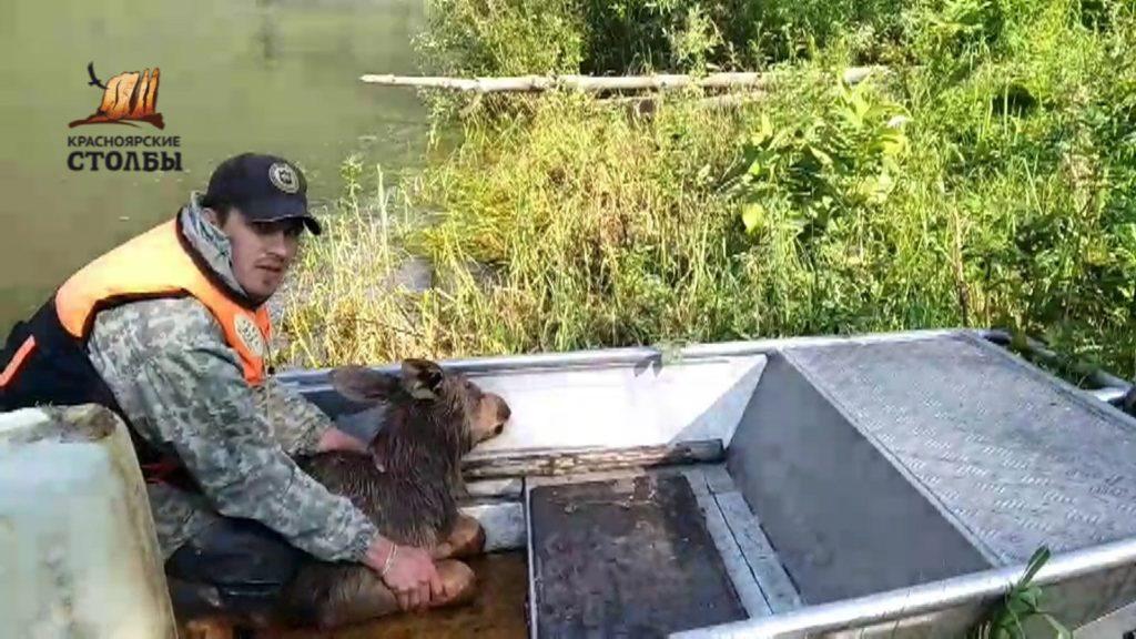 В Красноярском крае спасли тонущего лосенка