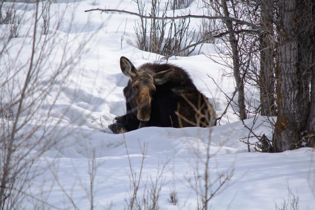 Браконьеры в Прикамье наказаны за незаконную охоту на лося