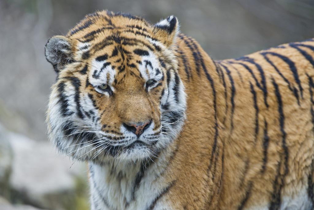 Жителя Хабаровского края задержали за незаконную добычу тигрицы