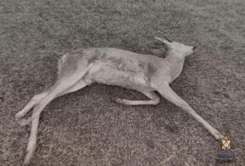 В Омской области браконьеры раньше времени открыли сезон охоты на косуль