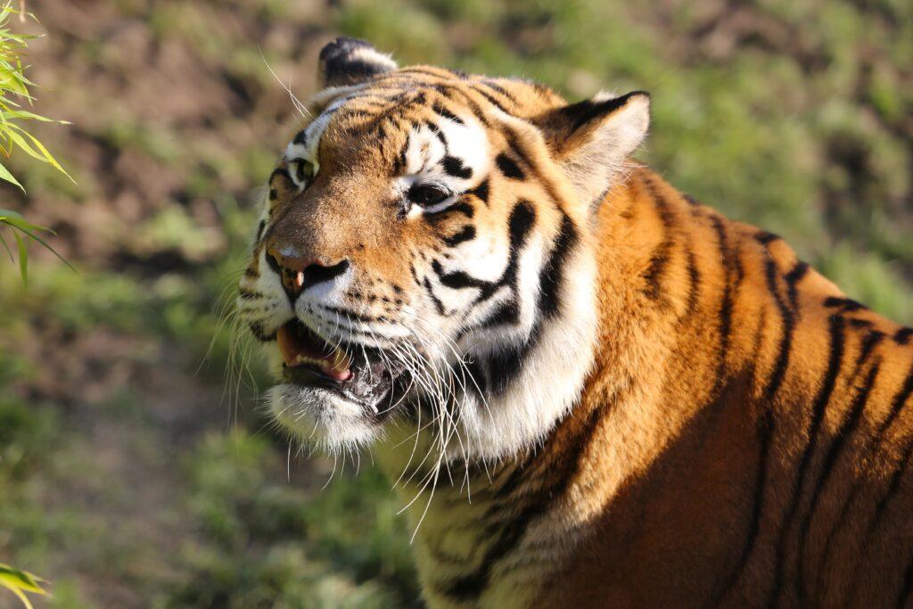 Пойманы подозреваемые в отстреле амурского тигра