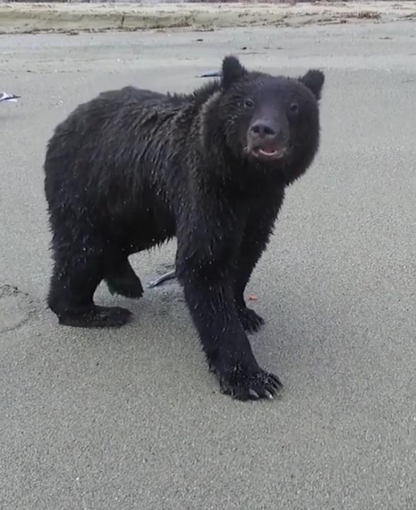 Сахалинский медведь поохотился на беспилотник