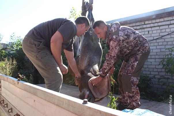 В Вологодской области спасли бродившего по городу лося