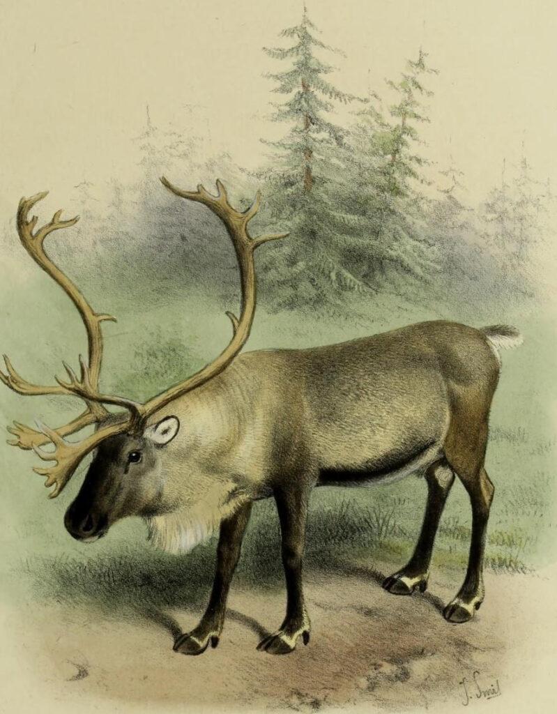 Олень и охота за ним на Среднем Урале. Часть четвертая