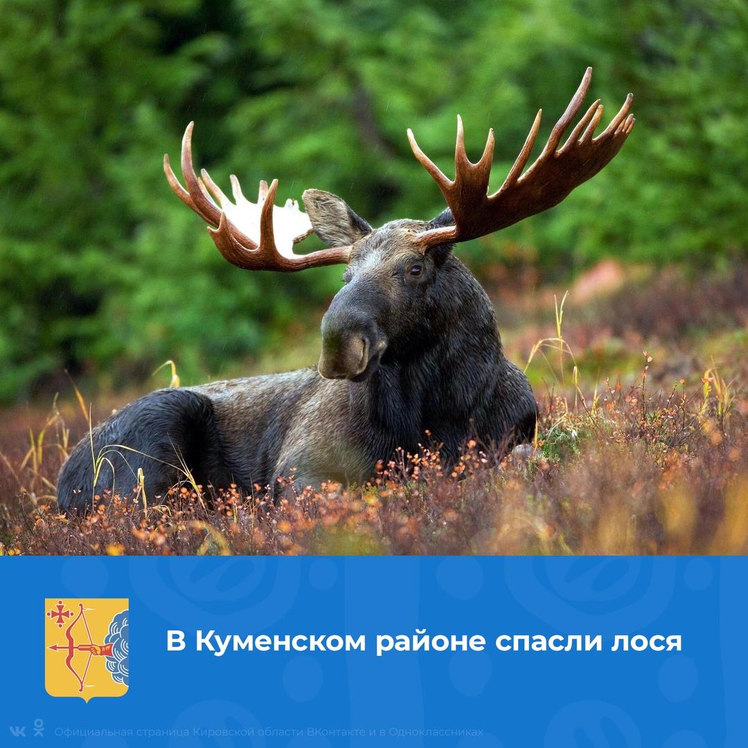 В Кировской области спасли лося