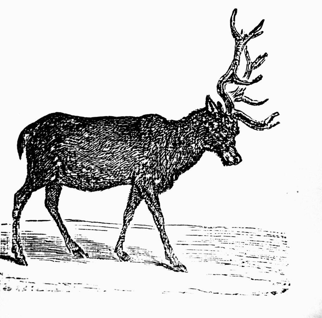Олень и охота за ним на Среднем Урале. Часть первая
