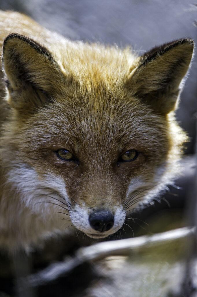 Бесхвостая лисица