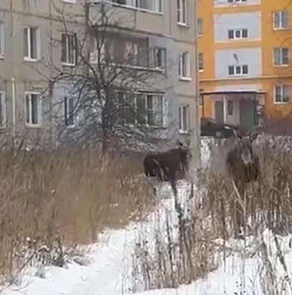 Лосиха с детенышем прогулялись по городу и попали в ДТП