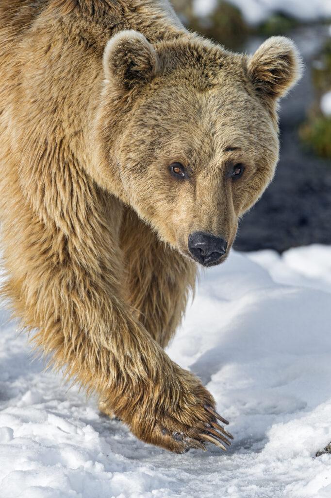 Охотников и рыбаков на Камчатке защищают от медведей-шатунов