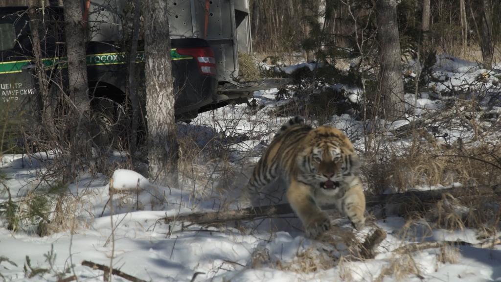 В Приморье поймали добывших тигра браконьеров