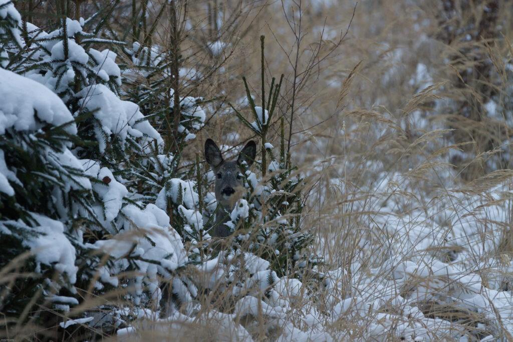 В Амурской области егерь попался на незаконной охоте на косулю