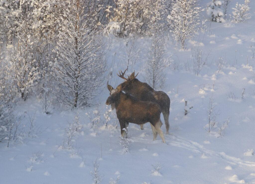 В Ярославской области браконьеров отдают под суд за охоту на лосей
