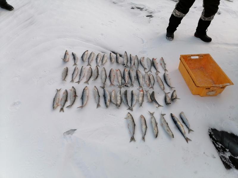 В Иркутской области выявили браконьеров с омулем