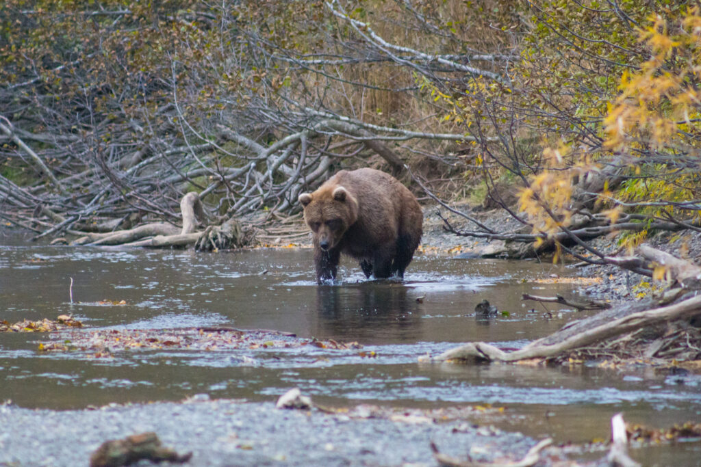 Сроки охоты на медведя-2021