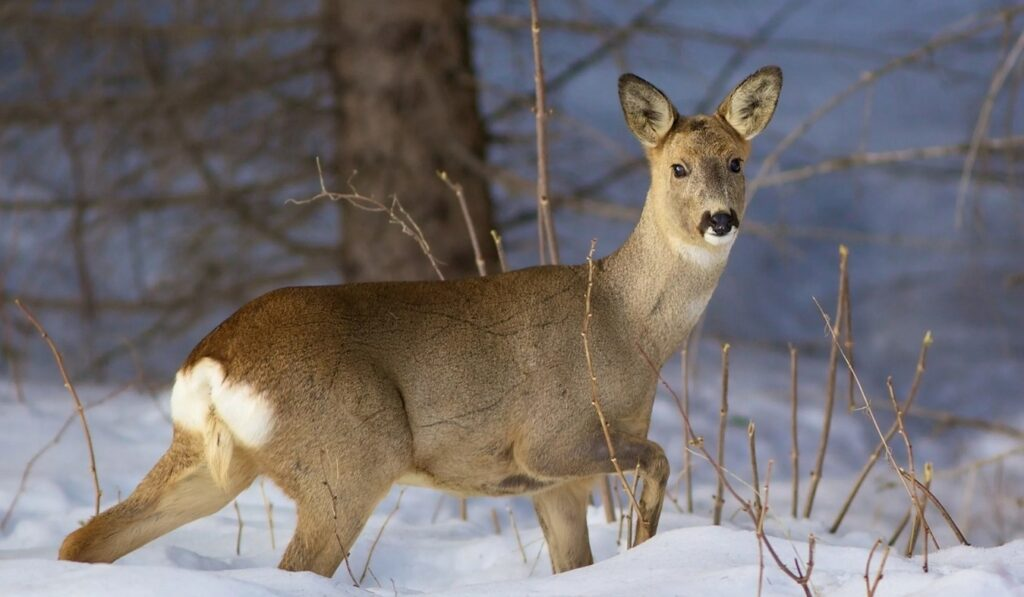 В Пензенской области браконьеров наказали за охоту на косуль