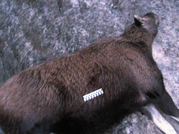 В Башкирии браконьеры отделались штрафом в 10 тыс. руб. за отстрел лосих