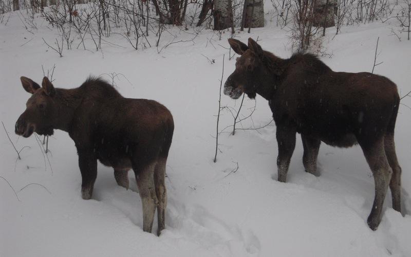 Браконьеры потеряли на нелегальной охоте на лосей свыше 6 млн рублей