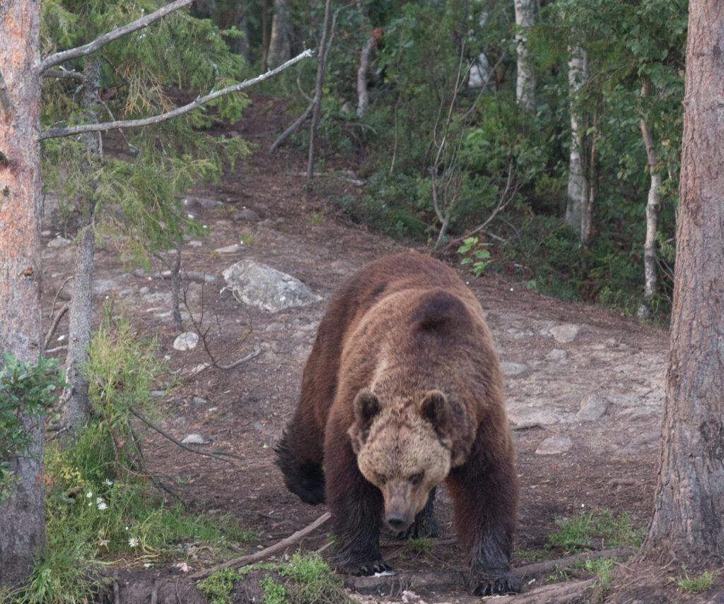 Медведь растерзал бизнесмена в Томской области