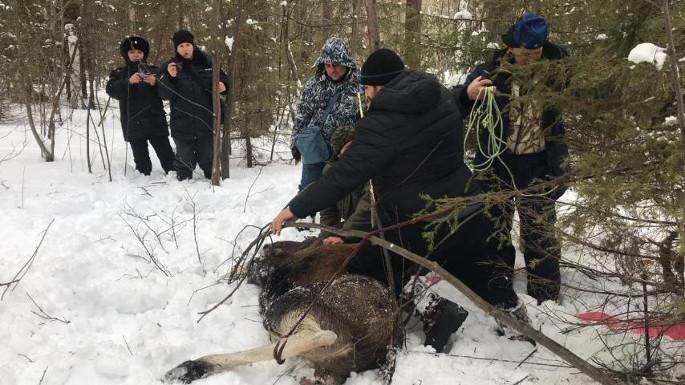 Браконьеры избежали наказания за охоту с капканом на лосиху