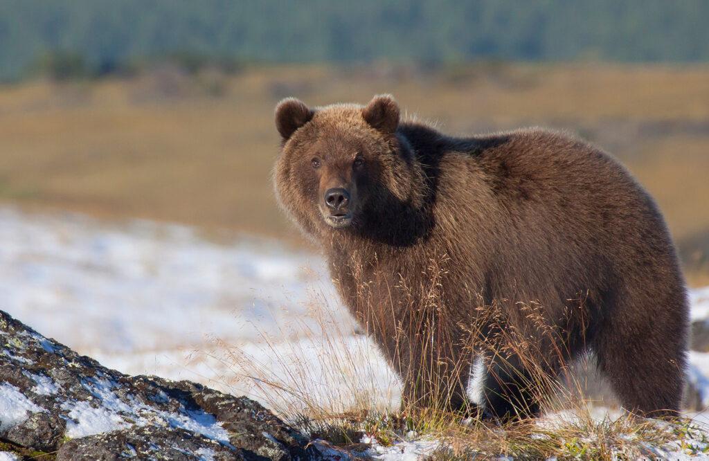 Моя встреча с медведями