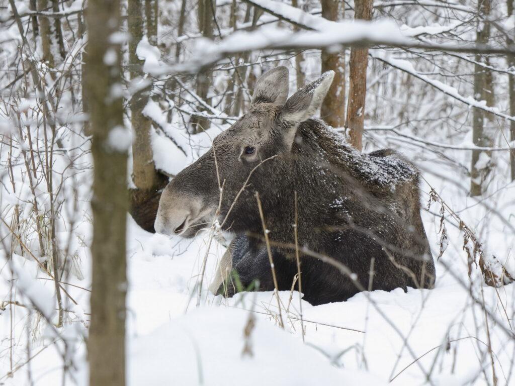 В Пермском крае браконьеров посадили за отстрел лосей