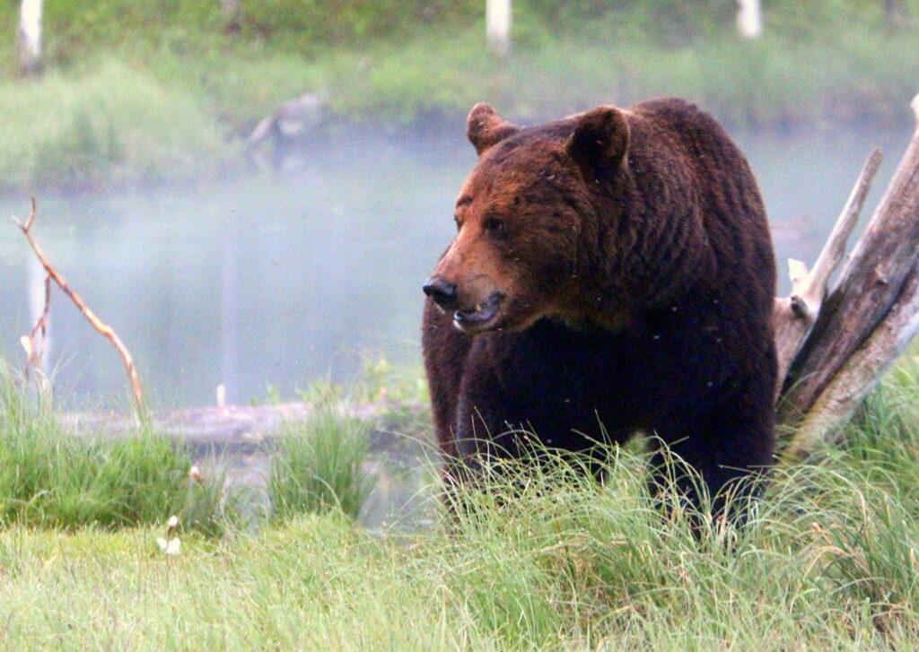 Рыбак на Сахалине выжил после стычки с медведем