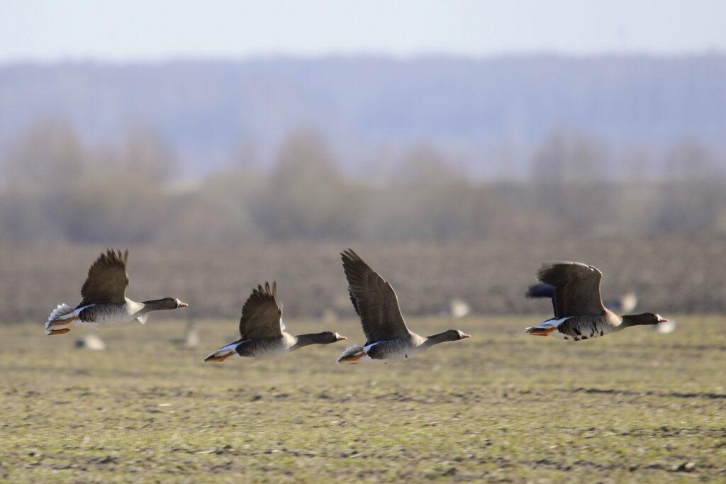 Сроки охоты на гуся 2021