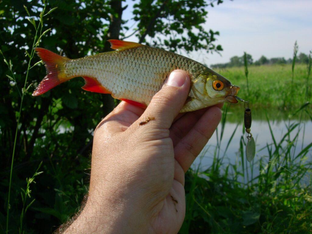 Рыба — «красное перо»