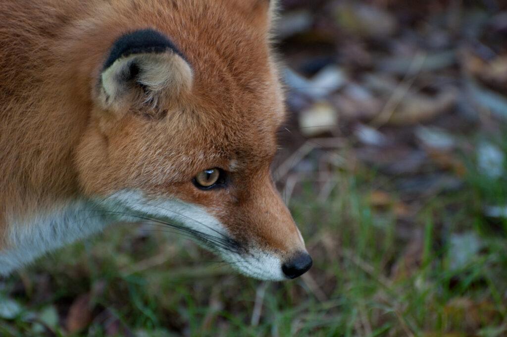 Очерк о лисицах