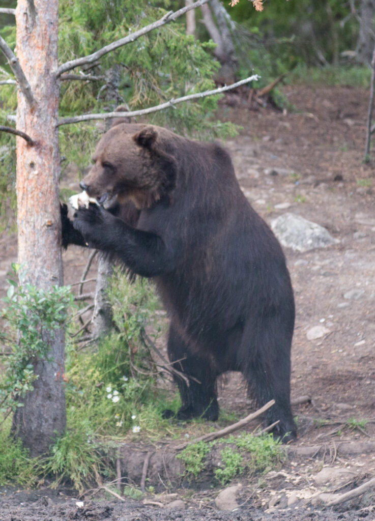 Медведь убил еще одного туриста в красноярском природном парке