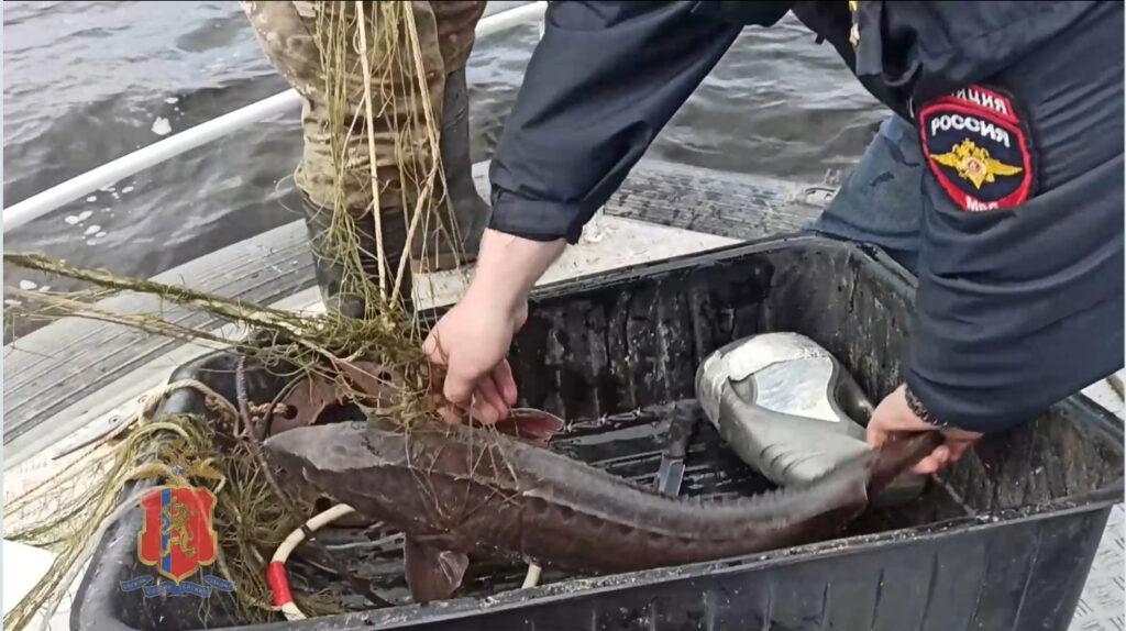 В Красноярском крае спасли осетровых на 2,4 млн рублей
