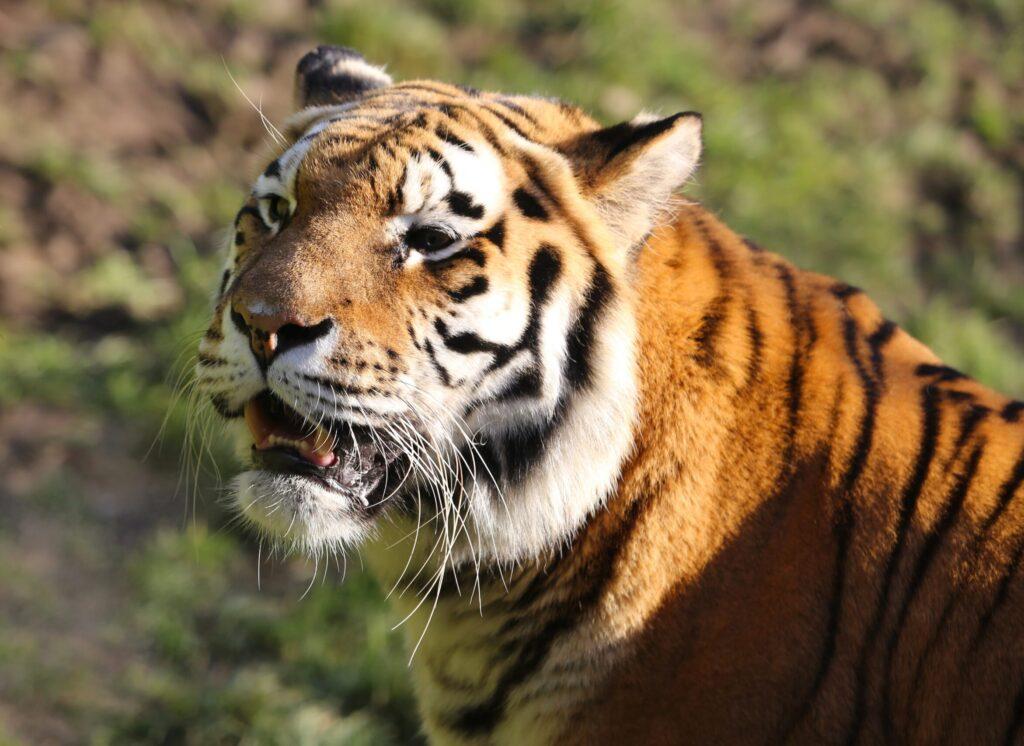 В Хабаровском крае уничтожили тигрицу-убийцу