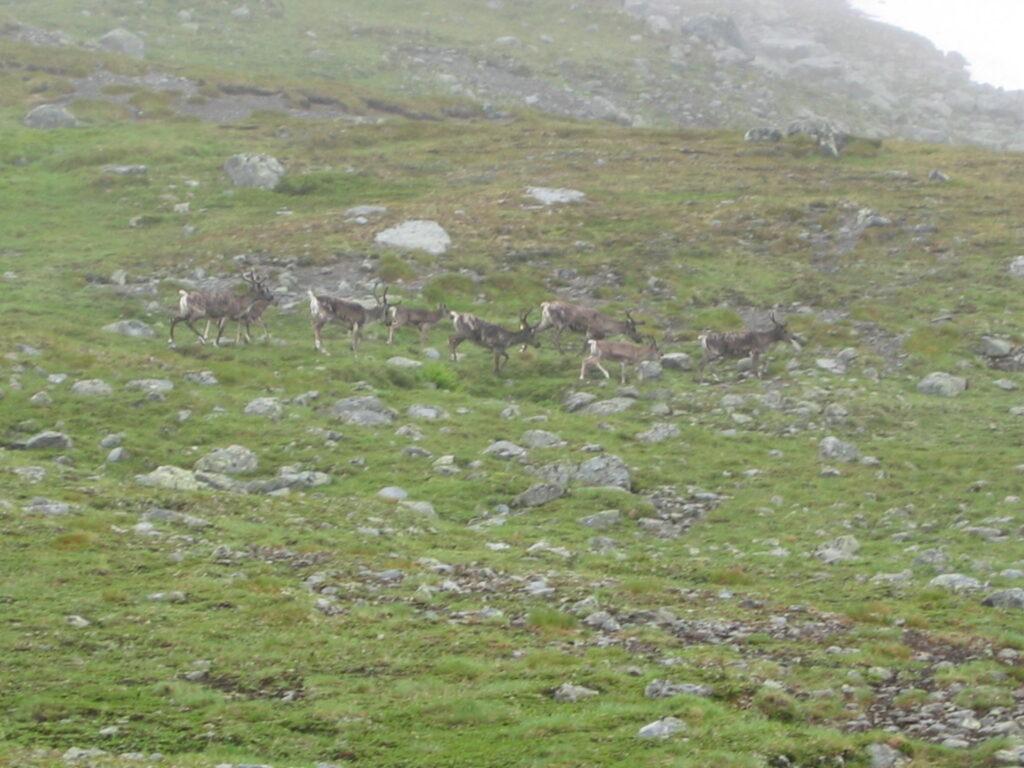 Количество погибших в Красноярском крае оленей выросло в 20 раз