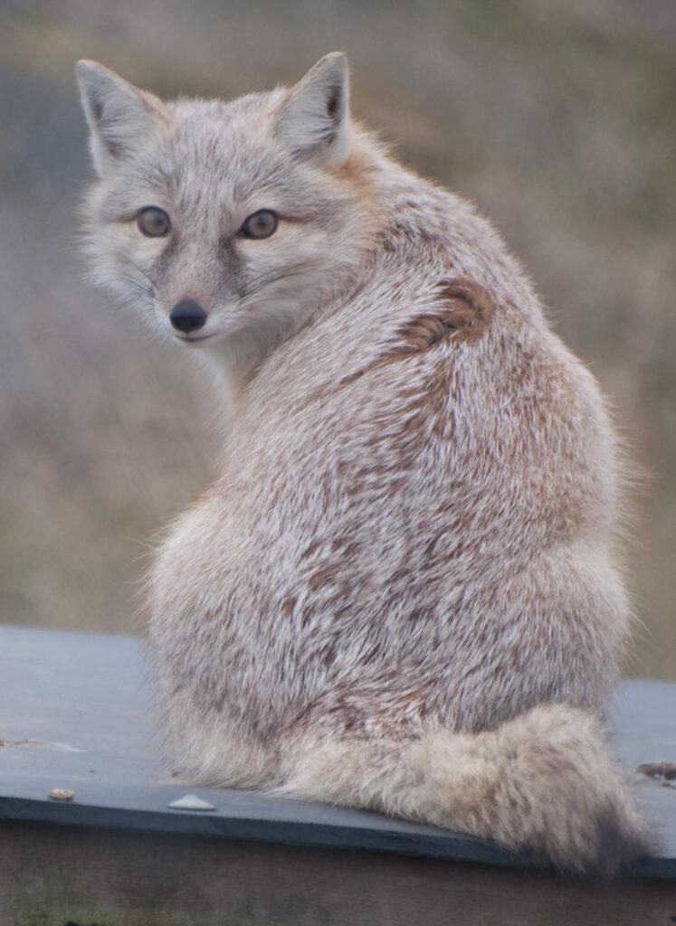 Корсак — степная лисица