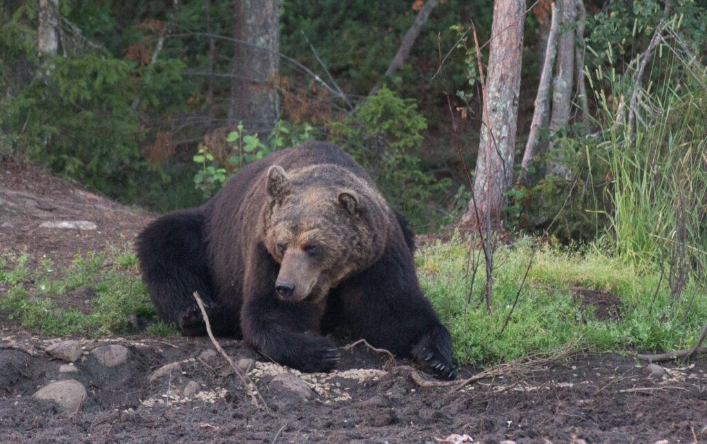 В парке «Ергаки» ликвидируют опасных медведей