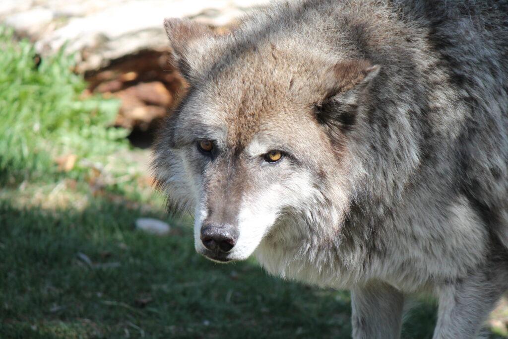 Сроки охоты на волка 2021