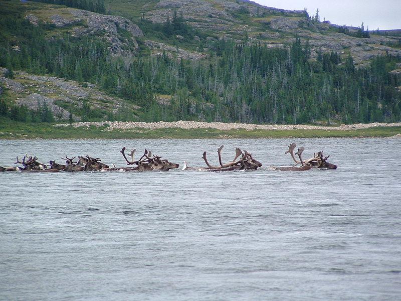 В Красноярском крае погибли десятки северных оленей