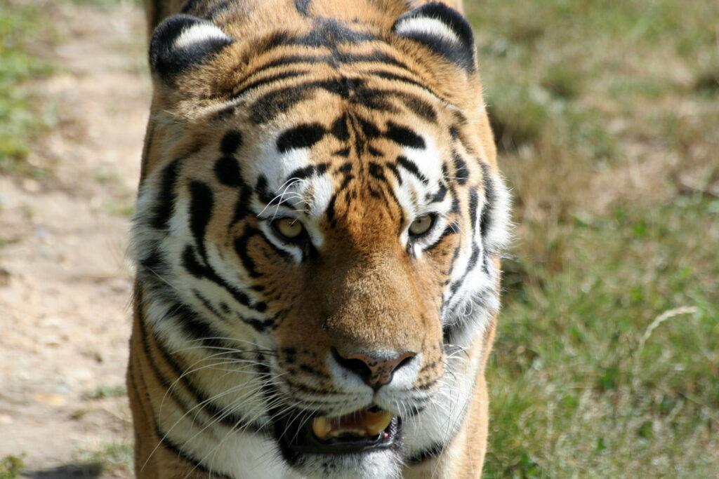 В Амурской области браконьерам вынесли приговор за незаконную добычу тигра