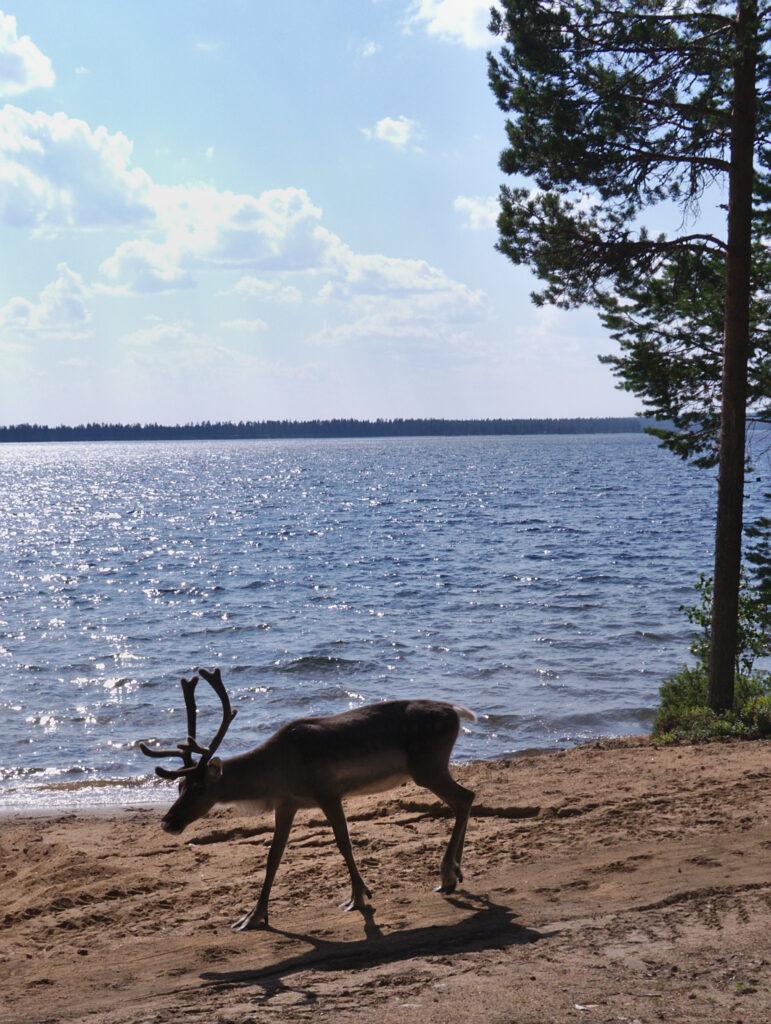 В Красноярском крае назвали причины массовой гибели оленей на Хатанге