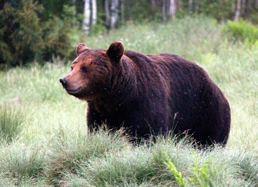 Об агрессивности медведей